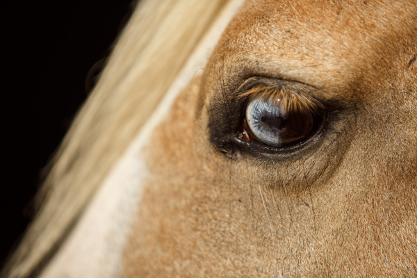 treating horse eye injuries opthamology